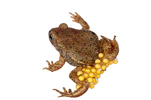 Common Midwife Toad (Alytes obstetricans) carrying eggs, Theisbergstegen, Rhineland-Palatinate, Germany, May. meetyourneighbours.net project - MYN  / Dirk Funhoff