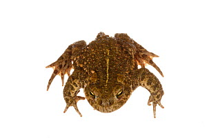 Natterjack Toad (Bufo calamita), Munster-Sarmsheim, Rhineland-Palatinate, Germany, May. meetyourneighbours.net project - MYN  / Dirk Funhoff