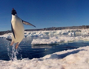 Adelie penguin (Pygoscelis adeliae) leaping from water, Antarctica. Small reproduction only. - Fred  Olivier