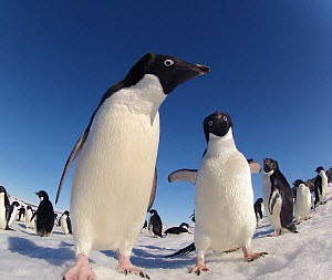 Adelie penguin (Pygoscelis adeliae) portrait of two with group behind, Antarctica. - Fred  Olivier