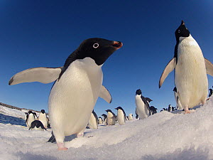 Adelie penguins (Pygoscelis adeliae) wide angle portrait of two with larger group in background, Antarctica.  -  Fred  Olivier