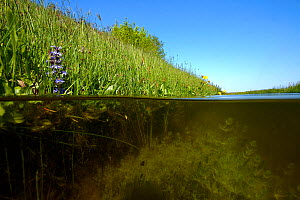 Ditch with Chara algae (Chara sp), North Holland. May.  -  Willem  Kolvoort