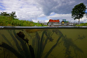 Water soldier (Stratiotes aloides) growing in brook with tractor pulling trailer of manure, Holland. August.  -  Willem  Kolvoort