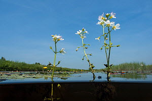 Water violet (Hottonia palustris) De Weerribben-Wieden National Park National Park, Holland. June.  -  Willem  Kolvoort