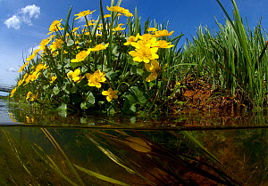 Marsh marigold (Caltha palustris)  with Mannagrass (Glyceria fluitans) and Common water crowfoot (Ranunculus aquatilis)  along  brook with seep inflow, North Holland. April. - Willem  Kolvoort