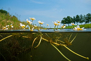 Common water crowfoot (Ranunculus aquatilis), North Holland. July. - Willem  Kolvoort