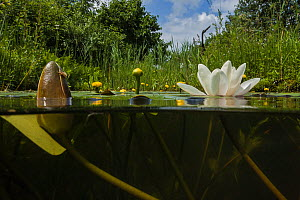 White waterlily (Nymphaea alba) and Yellow waterlily (Nuphar lutea) in a garden pond. June.  -  Willem  Kolvoort