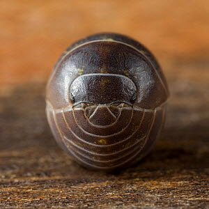 Close up of a pill woodlouse (Armadillidium vulgare) curled up, UK. - Stephen  Dalton