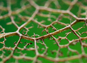 Close up of leaf veins showing 3D structure, UK.  -  Stephen  Dalton
