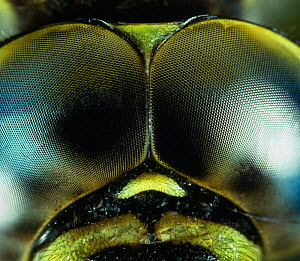 Compound eyes of Southern hawker dragonfly (Aeshna cyanea), UK. - Stephen  Dalton