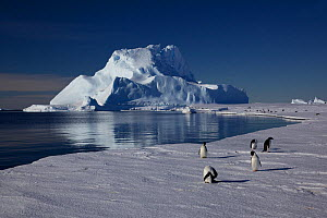 Adelie penguins (Pygoscelis adeliae) preening at edge of ice, Antarctica.  -  Fred  Olivier