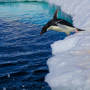 Adelie penguin (Pygoscelis adeliae) jumping from ice edge into the sea, Antarctica. - Fred  Olivier