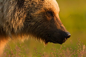 Grizzly bear (Ursus arctos horribilis) Katmai National Park, Alaska, USA, August. - Oliver Scholey