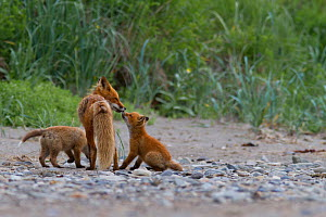 North American Red fox (Vulpes vulpes) mother with cubs, Katmai National Park, Alaska, August.  -  Oliver Scholey