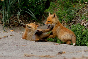 North American Red fox (Vulpes vulpes) cubs playing, Katmai National Park, Alaska, August.  -  Oliver Scholey