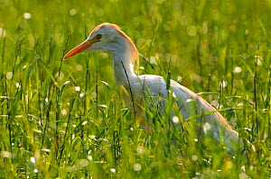 Cattle egret (Bubulcus ibis) in field, Alsace, France. July. - Michel  Poinsignon