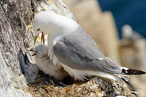 Kittiwake (Rissa tridactyla) at the nest with a chick, Inner Farne, Farne Islands, Northumberland, UK. July. - Michel  Poinsignon