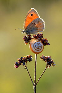 Small heath butterfly (Coenonympha pamphilus) and snail, Ottange, Lorraine, France. August.  -  Michel  Poinsignon