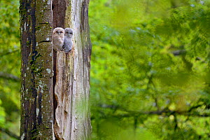 Two tawny owl (Strix aluco) chicks emerging from nest in tree, Luxembourg. May. - Michel  Poinsignon