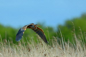 Purple Heron (ardea purpurea) in flight over reedbeds,  Parc naturel regional de la Brenne / Brenne Regional Nature Park, France, April  -  Loic  Poidevin