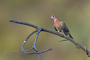 Spotted dove (Streptopelia chinensis) on a branch, India, April - Loic  Poidevin