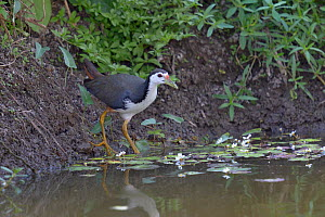 White-breasted waterhen (Amaurornis phoenicurus) male, in water. Keoladeo National Park, India, April  -  Loic  Poidevin
