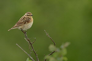 Whinchat (Saxicola rubetra) on a branch. Camargue, France, May  -  Loic  Poidevin