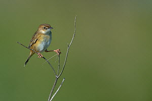 Zitting cisticola (Cisticola juncidis) on a branch. Breton Marsh, West France, April  -  Loic  Poidevin