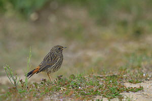 Bluethroat (Luscinia svecica) young on ground, Vendee, France, June  -  Loic  Poidevin