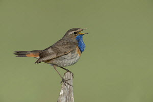 Bluethroat (Luscinia svecica) male singing on fence, Vendee, France, June  -  Loic  Poidevin