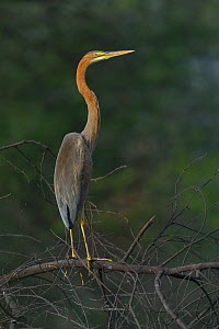 Purple heron (Ardea purpurea) on a branch. Keoladeo National Park, India, April  -  Loic  Poidevin