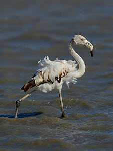 Greater Flamingo (Phoenicopterus roseus) juvenile with ruffled feathers, Camargue, France, May - Loic  Poidevin