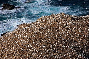Aerial view of Ile Rouzic / Rouzic Island, the only French colony of Gannets (Morus bassanus). Seven Island Natural Reserve, Cotes d'Armor, Brittany, France, September 2006.  -  Christophe Courteau