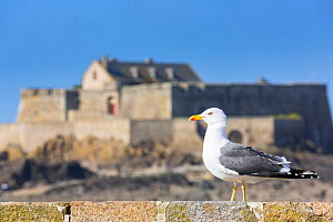 Herring gull (Larus argentatus) on Saint-Malo ramparts, in front of Fort National. Saint-Malo, Ille-et-Vilaine, France, March 2014. - Christophe Courteau