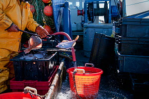 Fisherman cleaning Yellowtail flounder (Limanda ferruginea) on the deck of fishing dragger. Stellwagen Bank, New England, United States, North Atlantic Ocean, March 2009. Model released. - Jeff Rotman