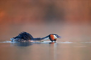 Great crested grebe (Podiceps cristatus) in a threathening posture trying to intimidate another grebe in a territorial dispute. Head low over the water and crest erected. The Netherlands. April.  -  David  Pattyn