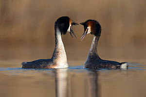 Great crested grebe (Podiceps cristatus) pair performing their courtship dance in which they mimic each other's movements. The Netherlands. April.  -  David  Pattyn