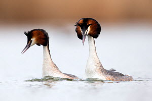 Great crested grebe (Podiceps cristatus) pair swimming fast and mimicking each other's head shaking during the courtship dance. The Netherlands. April.  -  David  Pattyn