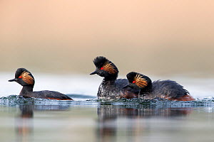 Black necked grebe (Podiceps nigricollis) pair chasing away another grebe during the mating season. The Netherlands.March 2014  -  David  Pattyn