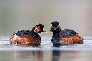 Black necked grebe (Podiceps nigricollis) pair mimicking each others movements in their courtship rituals. The Netherlands.March 2014  -  David  Pattyn