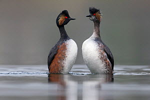 Black necked grebe (Podiceps nigricollis) pair performing their courtship dance in the mating season. The Netherlands.March 2014 - David  Pattyn