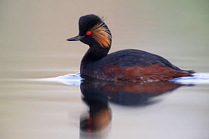 Black necked grebe (Podiceps nigricollis) adult bird in breeding plumage. The Netherlands.April 2014  -  David  Pattyn