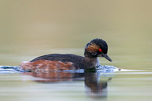 Black necked grebe (Podiceps nigricollis) adult bird catching  mosquitoes at the water surface. The Netherlands. April 2014  -  David  Pattyn
