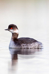 Black necked grebe (Podiceps nigricollis) portrait of an adult bird in winter plumage. The Netherlands. April 2014  -  David  Pattyn