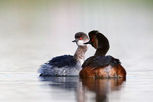 Black necked grebe (Podiceps nigricollis) pair performing their courtship ritual. This early in the breeding season one of the grebes is still in its winter plumage. The Netherlands.April 2014  -  David  Pattyn