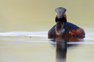 Black necked grebe (Podiceps nigricollis) portrait of an adult approaching a mosquito on the water surface while foraging. The Netherlands. April 2014 - David  Pattyn