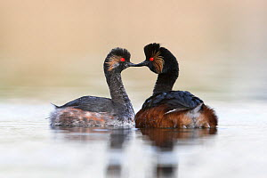 Black necked grebe (Podiceps nigricollis) pair during courtship performing their courtship dance in the mating season. The Netherlands. April 2014  -  David  Pattyn