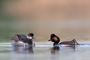 Black necked grebe (Podiceps nigricollis) pair performing their courtship dance in the mating season. This early in the breeding season, one of the birds is still in its winter plumage. The Netherland...  -  David  Pattyn