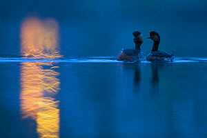 Black necked grebe (Podiceps nigricollis) pair at night, performing their courtship dance during the mating season, with street lights reflected in the water. The Netherlands.April 2014  -  David  Pattyn