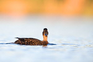 Mallard (Anas platyrhynchos) female. The Netherlands.April 2014 - David  Pattyn